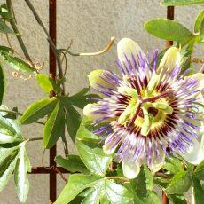 Passion Flower Contemporary Trellis