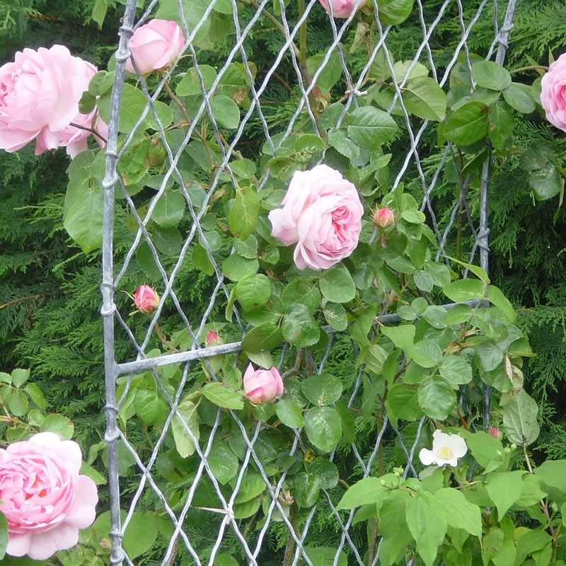 Arch trellis and roses