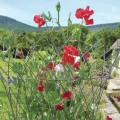 Galvanized steel plant support and sweet peas